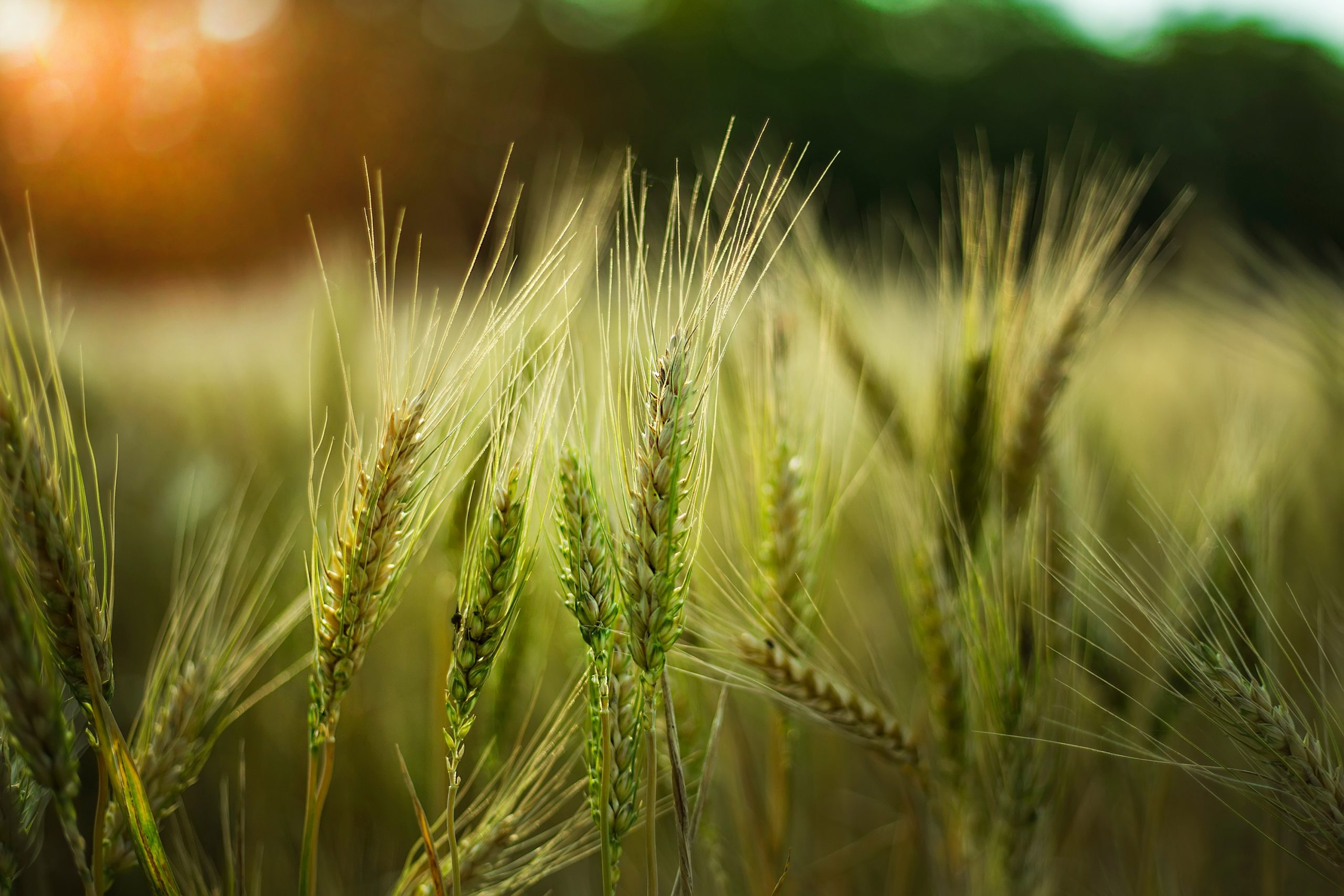 A selective focus shot of some wheat in a field